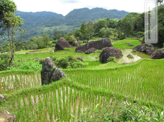Reisfelder auf Sulawesi