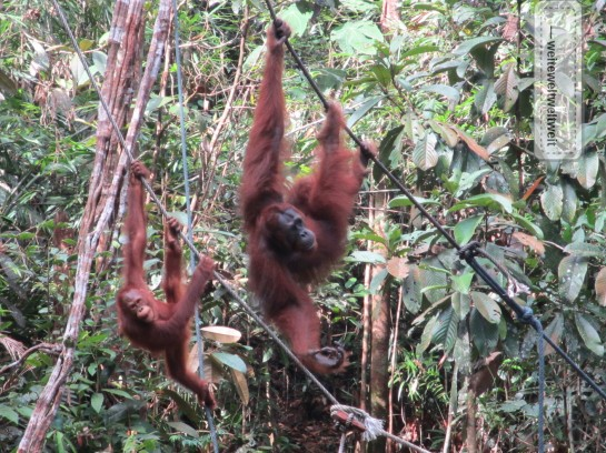 Orang Utans (Semenggoh Nature Reserve / Sarawak / Borneo)