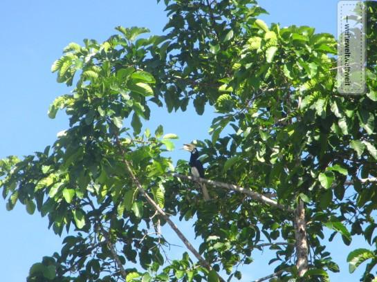 Ein echter Nashornvogel (hier bei Sukau Kinabatangan in Sabah auf Borneo)